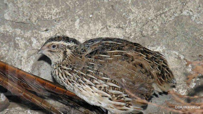 Burung Puyuh Perlu Pakan Perangsang Bertelur 2