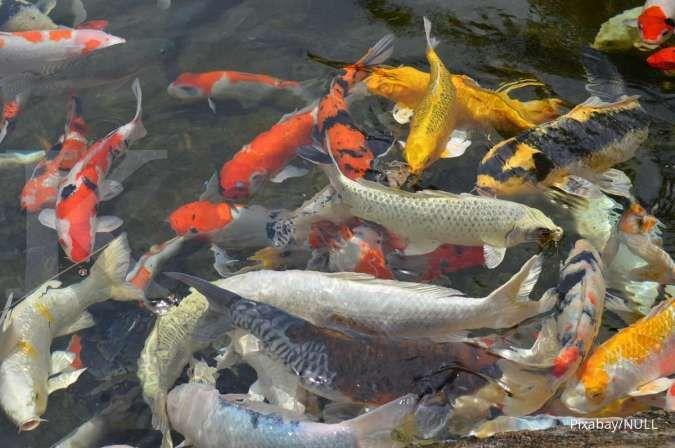 Mengenal ikan koi, jenis dan ciri-cirinya
