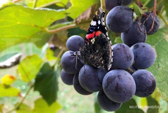 Manfaat buah anggur untuk ibu hamil