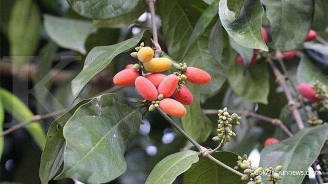 5 Manfaat daun melinjo untuk kesehatan: mengobati anemia sampai sakit mata