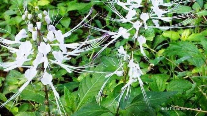 Catat! Ini 6 manfaat daun kumis kucing sebagai obat herbal
