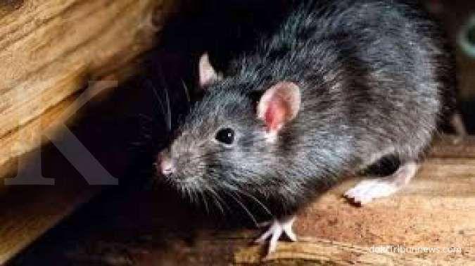 jebakan tikus