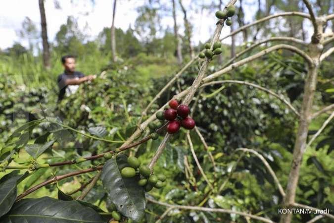 Melihat dari dekat sentra pembuatan kopi Lintong (bagian 2)