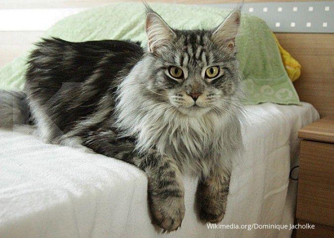 Bukan Hanya Maine Coon Berikut 7 Jenis Kucing Berukuran Besar Di Dunia