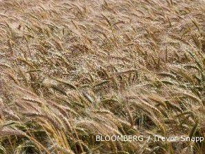 Cuaca kering, harga gandum terus merangkak naik