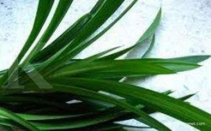 6 Manfaat daun suji untuk kesehatan yang belum banyak diketahui