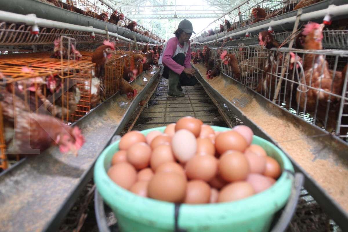 Telur ayam organik