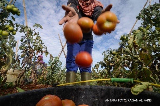 Cara menanam tomat perlu memerhatikan jadwal menyiram agar buahnya terasa lezat.