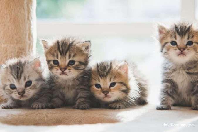 Kucing Munchkin Imut Imut Tapi Sempat Menuai Kontroversi