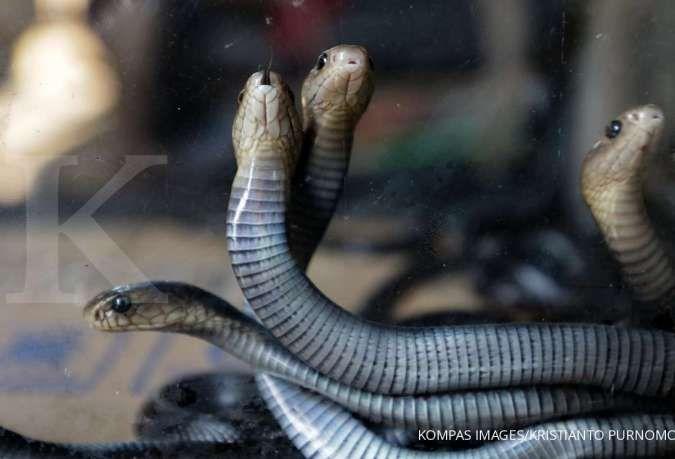 4 Cara ampuh dan sederhana mengusir ular dari rumah