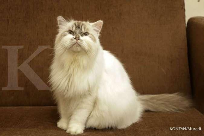 4 Jenis Kucing Persia Yang Bisa Anda Pelihara