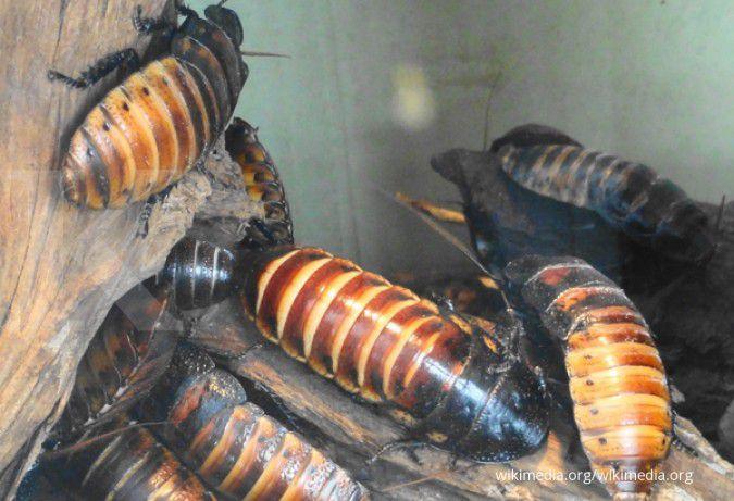 Tips mengusir kecoa dari rumah dengan cara yang mudah
