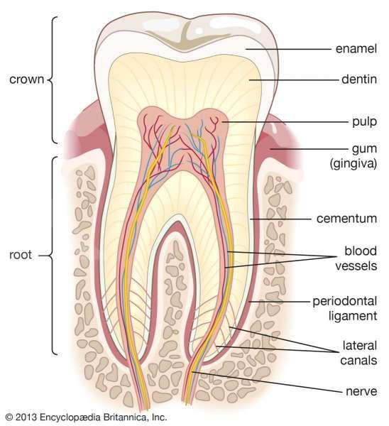 Anatomi gigi manusia